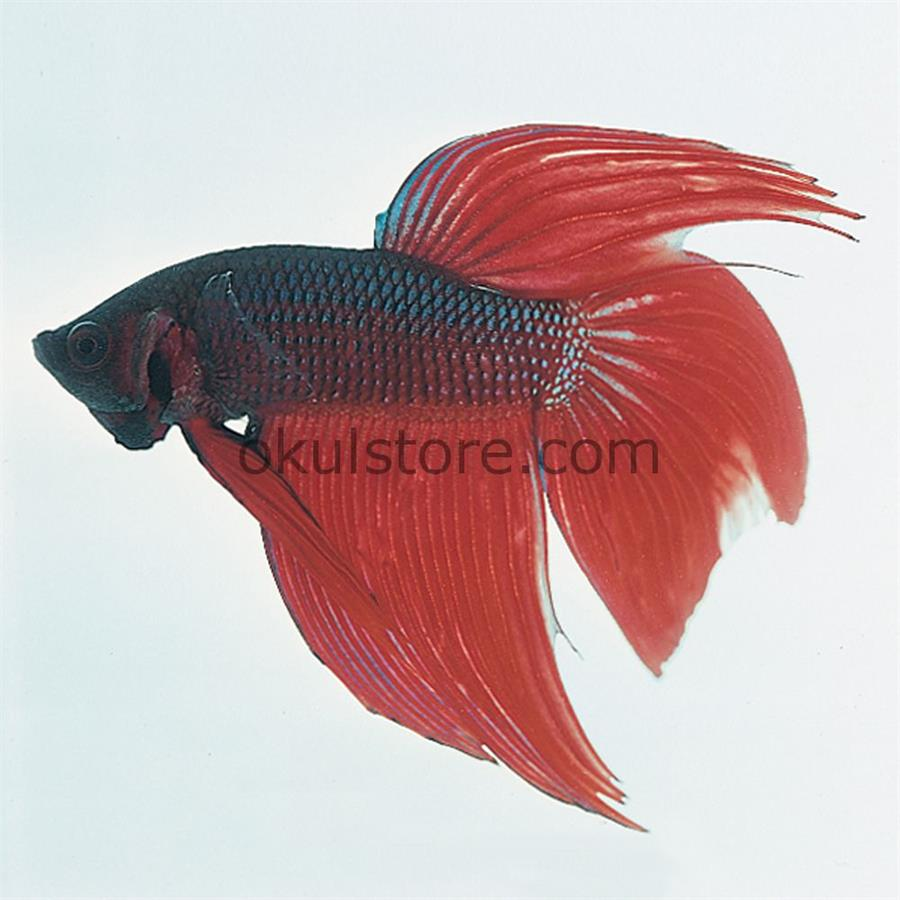Canlı Betta Splendens