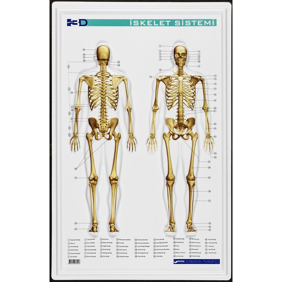 Kabartma Iskelet Sistemi Eğitim Levhası 35x50cm