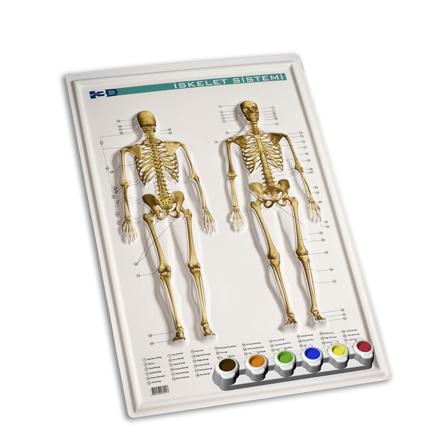 Kabartma Anatomi Iskelet Sistemi Yapım Seti